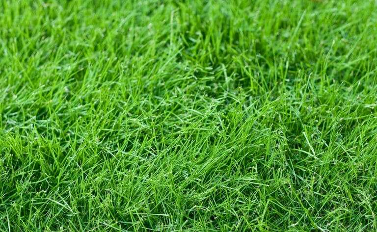 Fabulous Fescue – Green All Year and Only Available at NG Turf
