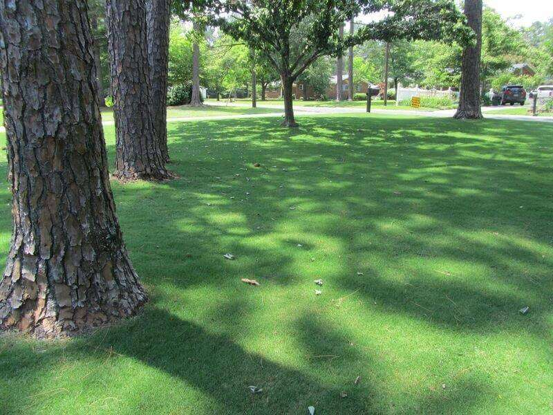 TIFTUF Bermuda shaded by trees