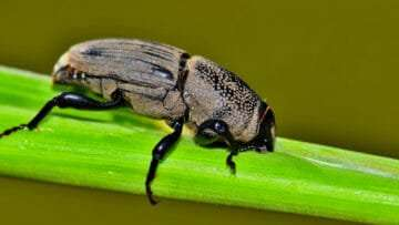 Insect Trials for Better Lawns