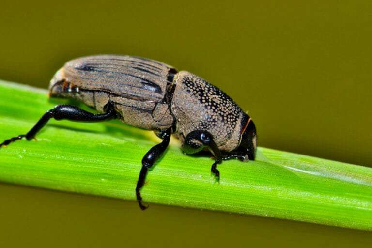 close up of a beetle on a green blade of grass Integrated pest management