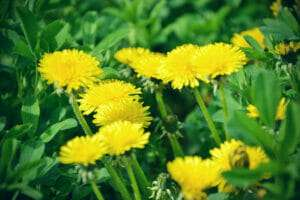 bungle of yellow dandelions, common weed