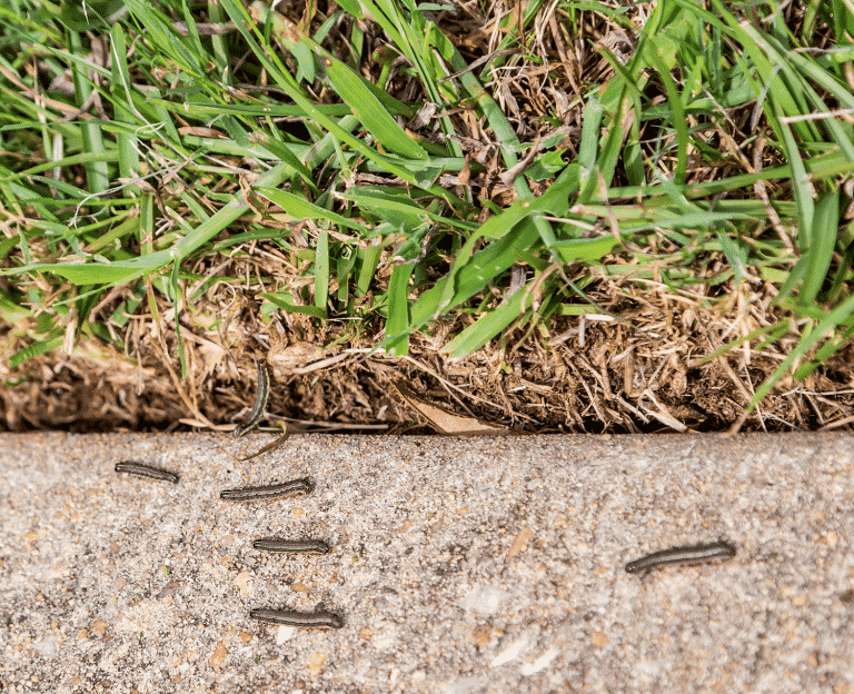 armyworms crawling bedside lawn
