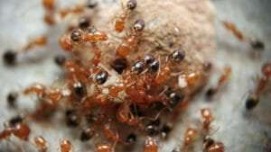 fire ant mount
