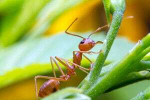 close up of a fire ant on a blade of grass