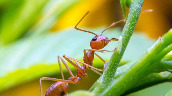 Fire Ant Control—Reclaim Your Lawn