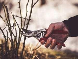 hand held pruning shears trimming rose bush