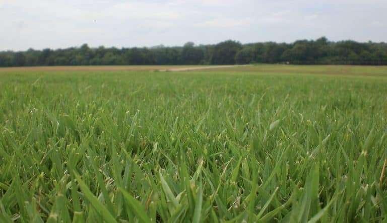 zoysia grass reviews Whitesburg