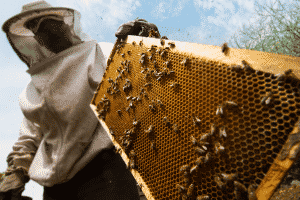 Beekeeper showing honeycomb in beehive