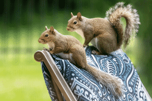 2 squirrels perched on back of chair- lawn damage
