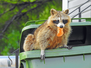 raccoon climbing out of garbage can with food in it's mouth- lawn damage