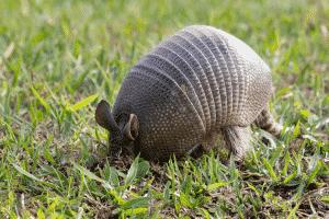 armadillo in grass - lawn damage