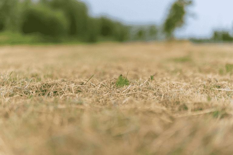 brown sod during a drought Calhoun sod near me