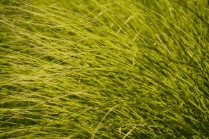 wilting grass