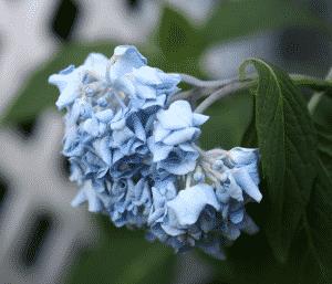 wilting blue hydrangea