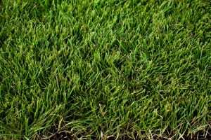 close up of green, healthy zeon zoysia