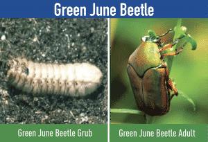 Green June Beetle — grub , larvae , adult
