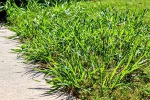 tall, unsightly spring weeds next to a sidewalk
