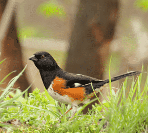 Get Rid of Birdseed in Your Lawn: eastern towhee on ground
