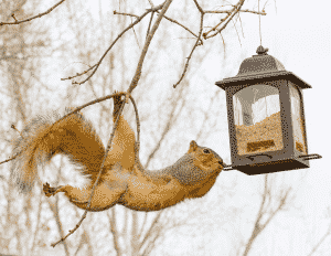 Get Rid of Birdseed in Your Lawn: Squirrel stretching out for bird feeder