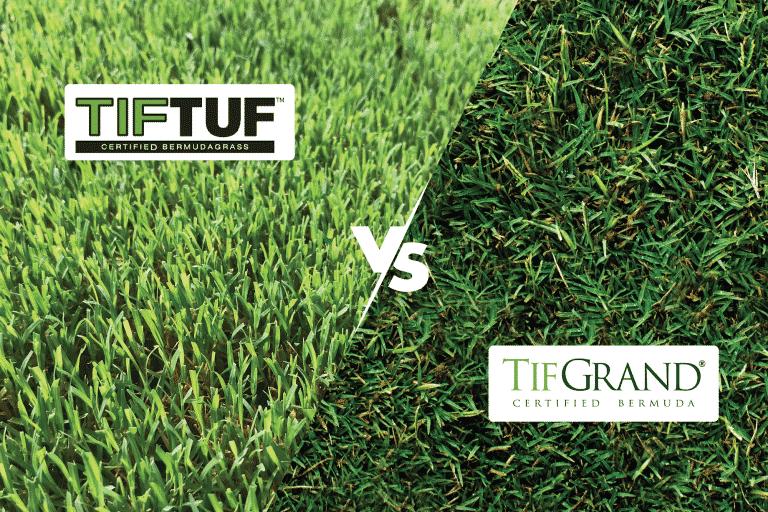 side by side look at TifTuf vs TifGrand certified bermuda sods