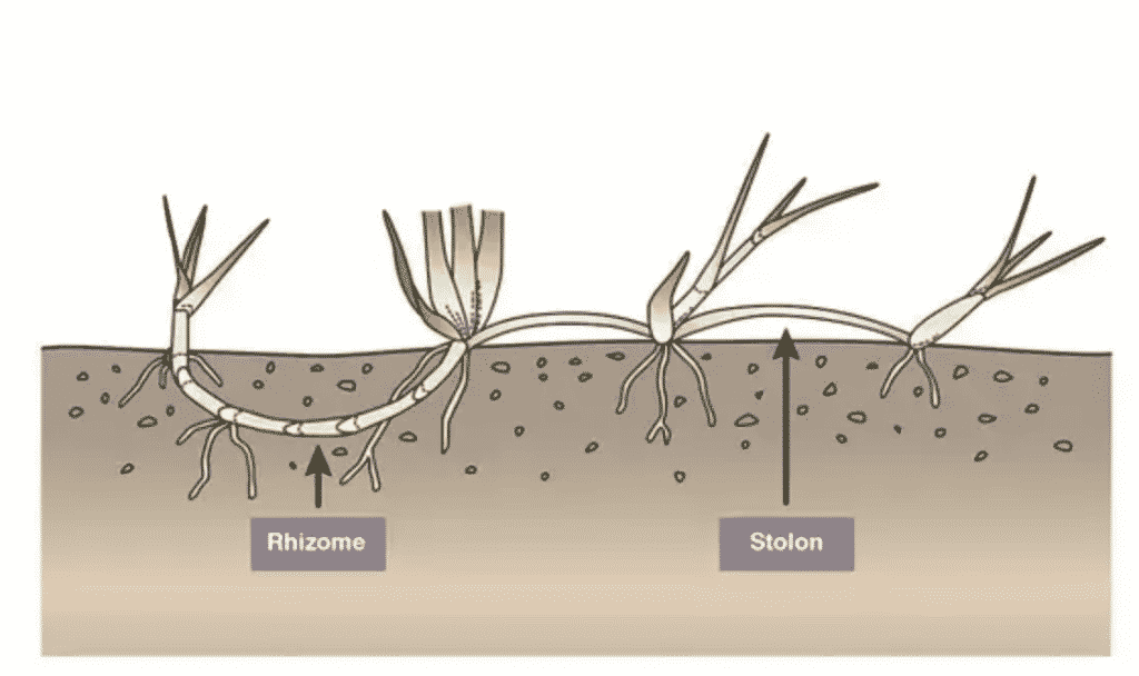 diagram showing Rhizome and Stolon of zoysia grass