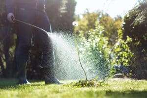 lawn care professional spraying pre-emergent herbicide on large weed