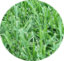 close up of st. Augustine grass