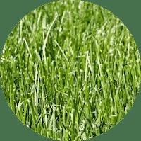 close u p for tall fescue grass