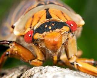 cicada on tree, cause some damage to small trees