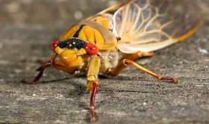 close up of red eyed cicada, do cicadas cause damage