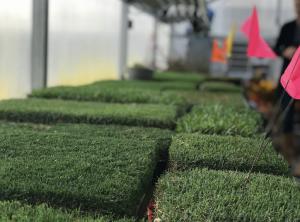 new turfgrass varieties in greenhouse