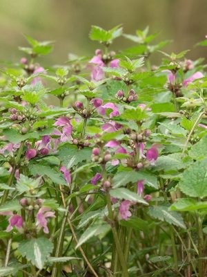 henbit, green winter weed with purple flowers